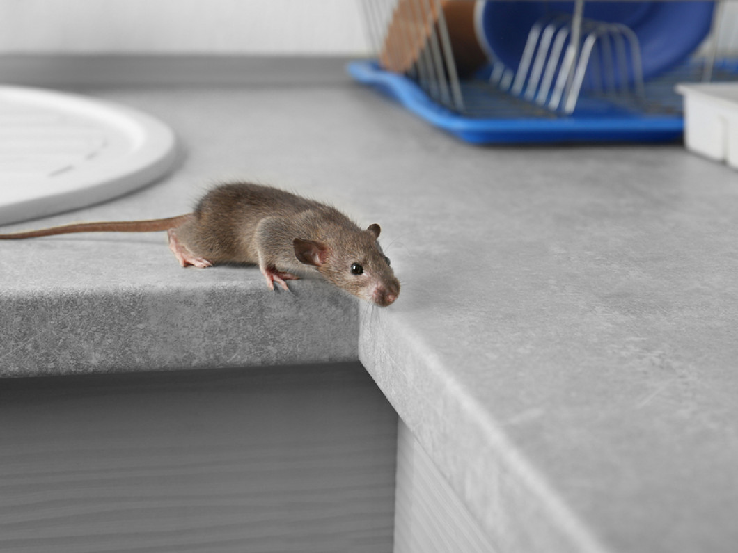 Mice Living in Your Walls?