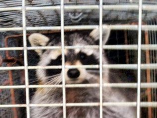 wildlife removal plympton & plymouth ma